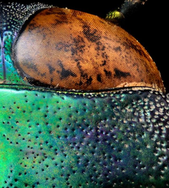 Beetles4